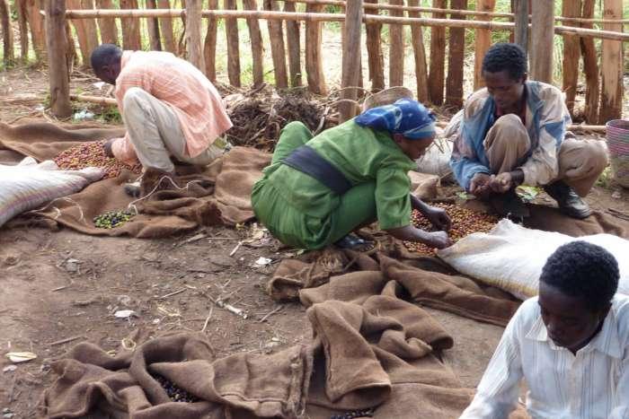 Nach dem Picking müssen alle Kaffeekirschen sortiert werden, um nur die wirklich perfekt gereiften zu erhalten