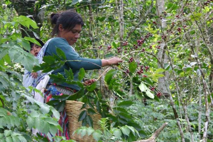 Für die Ernte kämpfen sich die Erntehelfenden durch die Plantagen, um alle reifen Kaffeekirschen zu Pflücken