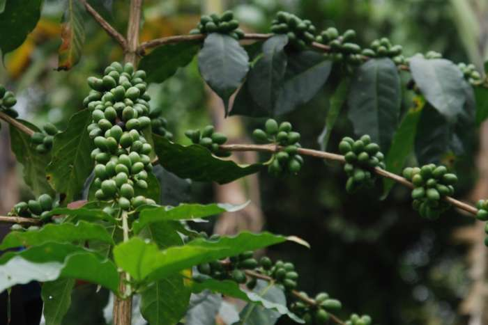 Grüne Kaffeebohnen an einem Kaffeestrauch