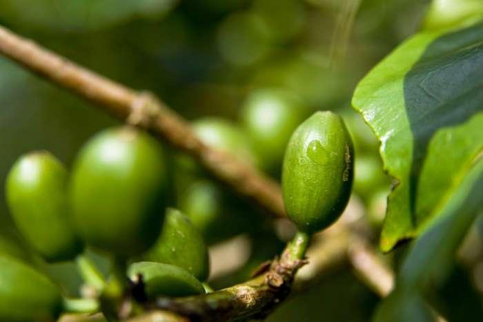 Wenn die Kaffeekirschen noch nicht reif sind, zeigen sie sich in einer grünen lecuhtenden Farbe.