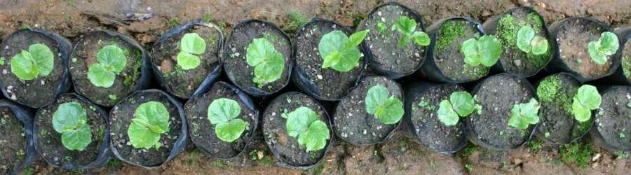 Den ersten Ertrag bringen junge Kaffeepflanzen nach 3-4 Jahren