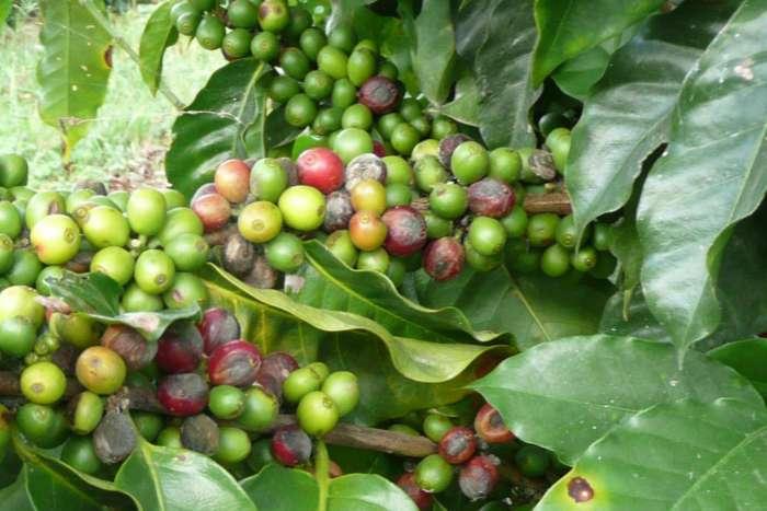 An einer Kaffeepflanze befinden sich meist mehrere Reifegrad der Kaffeekirschen gleichzeitig