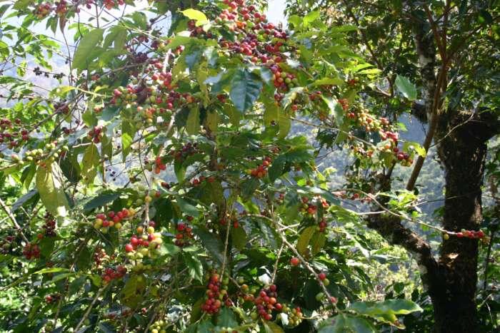 Kaffeepflanzen auf einer Kaffeeplantage