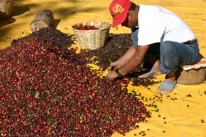 Obwohl mit dem Picking in kurzer Zeit schnell viel gepflückt werden kann, erfordert das Nachsortieren noch einen größeren Aufwand.