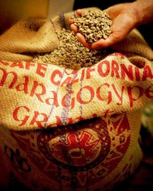 Mit einer Hand werden aus dem Kaffeesack des Maragogype Kaffees die Kaffeebohnen entnommen