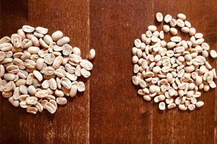 Maragogype Kaffeebohnen sind im vergleich zu anderen Kaffeebohnen größer
