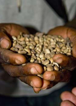 Grüne Kaffeebohnen in einer Hand