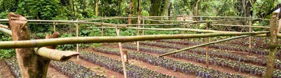 Grüne Kaffeeplantage mit Kaffeepflanzen
