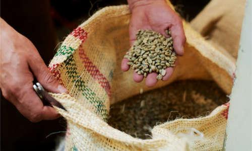 Frische Kaffeebohnen, die ncoh nicht geröstet wurden.